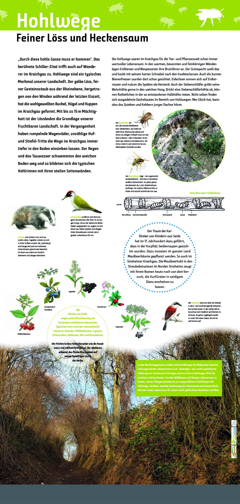 Hohlwege im Löss Lebensraum für Tiere und Pflanzen