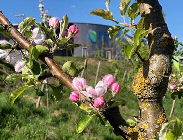 Apfelblüte Außenanlage