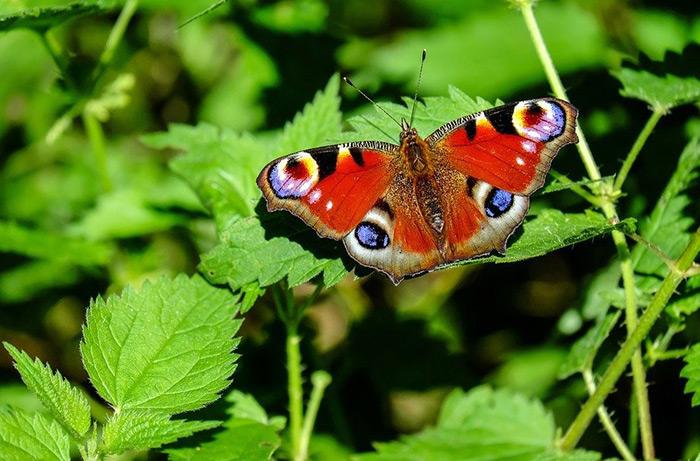 In Herrn Gerbers Garten fliegen immer weniger Kleine Füchse und Tagpfauenaugen. Was hat der Kaukasus damit zu tun?