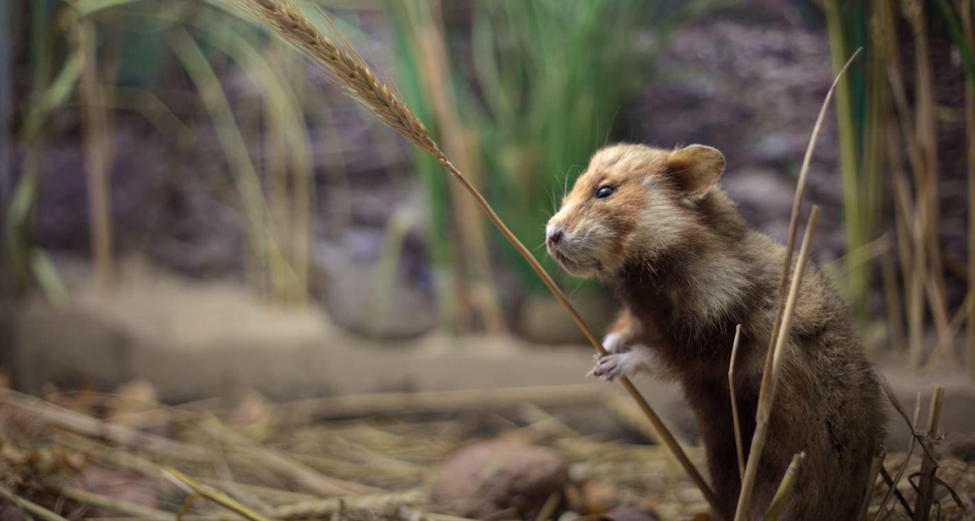 Tierwelt Hamster